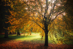 Autumn Gold (JDWCurtis) Tags: autumn autumnal autumnalcolours colour colours gold orange sunlight sun shadow shadows tree leaves treeleaves rotten rot cardiff cardiffpark park bute butepark nature natural naturalbeauty bbcwalesnature wales southwales rays ray beauty comfort calm brown red