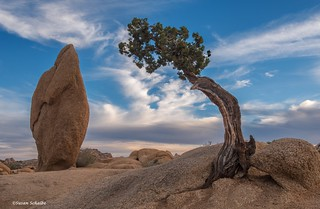 The juniper at Jumbo Rocks