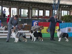 Best of Breed (Juango8a) Tags: pastor ovejero australiano australian shepherd juango8a juan ochoa juan ochoa gonzalo zuluaga aussie australiano colombia shepherd lagrancastacolombia