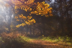 leaves of gold (jamietaylor2127) Tags: scenic sigma forest wood nature leaves golden sun rays landscape autumn ngc