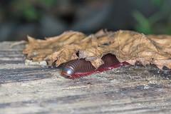 Millipede 2 (strjustin) Tags: millipede macro canon canon60d insect bug
