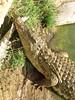 Aligator_2 (@ FS Images) Tags: tieresüdafrikatieparklandwasser aligator liegend kopf aufdemwasserkommend canon eos 600d outdoor landschaft natur