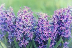 Hyacinth (melike erkan) Tags: flower flowers retro vintage purple green greenandpurple hyacinth blooms spring april roc rochesterny macro closeup