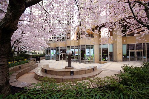 The Urban Tea Merchant's courtyard of sakura
