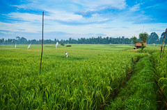 Early morning in Ubud (syukaery) Tags: bali field indonesia rice paddy ubud 1755mm