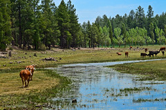 Grazing (xTexAnne) Tags: 2 arizona tree animal pine landscape cow stream cattle sedona greenlandscape d7000