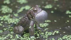 American Toad Mating Call (Steve Byland) Tags: canon video call american toad 7d mating calling bufo americanus njas schermanhoffman