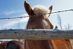 Freddie Peaks Over The Fence (Roofer 1) Tags: fence rail belgian barbwire workhorse freddiemac