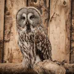 Great Grey Owl (Richard Olpin LRPS) Tags: bird animal fauna flickr wildlife greatgreyowl owl online herefordshire facebook kington owlcentre