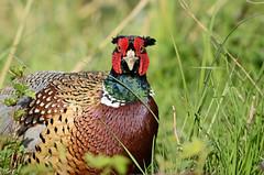 Pheasant (Rob'81) Tags: uk pheasant britain wildlife brandonmarsh