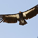 California Condor, Big Sur Highway, California