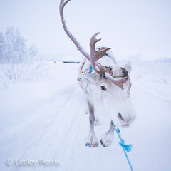 0048 (lesley v) Tags: holiday snow ice finland reindeer husky sweden arctic aurora northernlights january2013 davviarcticlodge