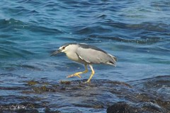 high step (BarryFackler) Tags: ocean life sea bird beach heron nature water ecology animal fauna island hawaii polynesia bay coast marine pacific being shoreline pacificocean coastal shore tropical coastline bigisland aquatic creature biology kona avian ecosystem vertebrate zoology marineecology aukuu organism nycticoraxnycticorax honaunau konacoast hawaiicounty southkona hawaiiisland 2013 honaunaubay marineecosystem westhawaii akuu nnycticorax barryfackler barronfackler