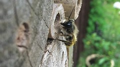 Red Mason Bees Close Up and Slowed Down (Yardie 83) Tags: red wild england macro nature closeup insect spring wildlife bees mason insects down bee devon slowed springwatch uknature ukwildlife osmiarufa redmason redmasonbee sloweddown ukinsect