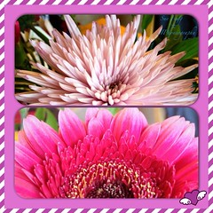 in the bunch (green-dinosaur) Tags: pink flowers light collage closeup square petals colours close mosaic 365 app iphone flowerscloseup iphone4 iphoneography theinspirationgroup suefagg theappwhisperer