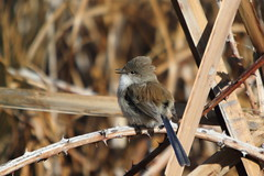 Superb fairy wren (kasia-aus) Tags: male bird reed nature blackberry singing superb little may dry australia fairy canberra wren lakeginninderra 2013