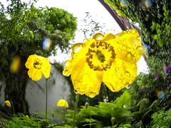 Maiwonne 9 (redstarpictures) Tags: rain yellow germany deutschland hamburg pflanzen may blumen fisheye mai gelb garten regen papaver blueten mohn stgeorg fischauge samyang hamburgstgeorg drachenbau californischermohn