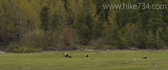 "Grizzly sow with cubs • <a style=""font-size:0.8em;"" href=""http://www.flickr.com/photos/63501323@N07/8886148956/"" target=""_blank"">View on Flickr</a>"