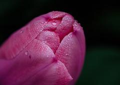 Drops of Pink (Lea and Luna) Tags: pink flower nature water rain closeup garden botanical beads drops spring flora nikon bokeh pennsylvania conservatory pa rainy tulip raindrops 60mm nikkor raining longwoodgardens kennettsquare d5100