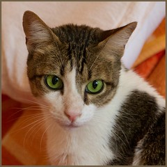 Bruno (No_Water) Tags: white cute cat tiger bruno nip addicts