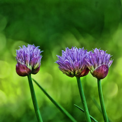 A trio of chives (*Psycho Delia*) Tags: flowers green garden three purple bokeh trio chive hss topazadjust blinkagain