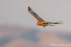 Mother Harrier with food for Junior(s) - IMG_7903 (arvind agrawal) Tags: