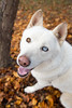 Salt (Gertrude139) Tags: park autumn dog fall leaves happy husky siberianhusky sibe bieyed