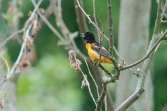 Baltimore Oriole (sjdavies1969) Tags: birds animals unitedstates maryland silverspring animalia baltimoreoriole icteridae vertebrates icterusgalbula troupialsandallies