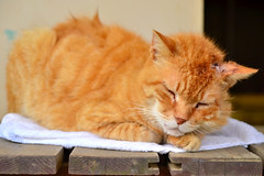 () /  Cat to Napping (Dakiny) Tags: animal animals june japan cat yokohama     2013  aobaku 2013