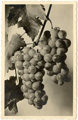 Bunches of Grapes- French postcard (Rescued by Rover) Tags: vintage french postcard photograph grapes bunch