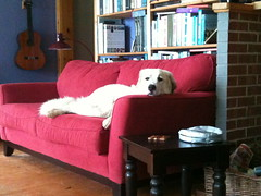Sadie's couch (ekpatterson) Tags: dog june sadie couch greatpyrenees 2013