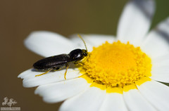Escaravelho (familia Elateridae) (Nuno Camejo) Tags: bug beetle elite click arthropoda coleoptera insecta escaravelho elateridae elateroidea