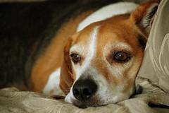 I am bored ... (Royal Canadian) Tags: dog beagle bored