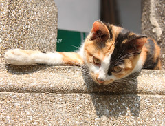 Today's cat 2013.6.29 (ladious666) Tags: life animal cat  catsplanet