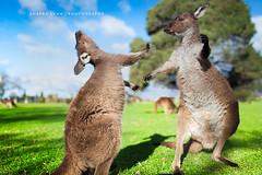 Two kangaroos fighting each other, Australia (Robert Lang Photography) Tags: two color colour nature grass animals horizontal fauna other coatofarms native kick farm stock australian australia nopeople tourist kangaroo aussie fighting scratch southaustralia kangaroos each australiana portlincoln swipe glenforest eyrepeninsula aussieanimals fightingkangaroos twokangaroosfightingeachother parkgreenpatch