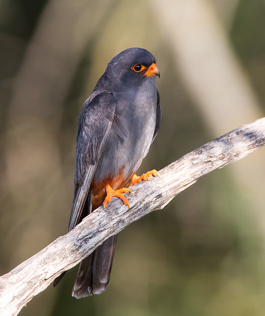 Red-footed Falcon - in the dappled shade