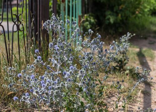 Violet Thorns