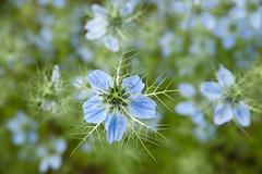 Nigella damascena (Kew on Flickr) Tags: flower richmond surrey blueflower loveinamist nigelladamascena
