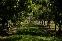 Growing Fruit (jbilohaku) Tags: trees tractor canada color tree verde green fruit rboles bc britishcolumbia fruta rbol kelowna naranja arbo canad verda frukto arboj britakolumbio kanado columbiabritnica koloro