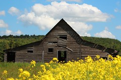 Heritage at it's Finest! (LindaJ55) Tags: summer canada heritage history abandoned yellow barn canon ruin alberta crops homestead prairies canola