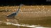 giochi di luce (taronik) Tags: natura uccelli acqua riflessi animali cacciafotografica aironecenerino blinkagain me2youphotographylevel1