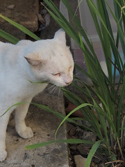 Gato Branco (ingridcastro7) Tags: cats gatos animais gatobranco