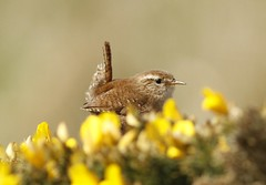 wren (colin 1957) Tags: birds wren birdwatcher
