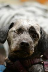 Logan (Save-A-Pet Adoption Center) Tags: dog black male blind logan specialneeds lhasaapso saveapet 2013