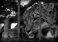 Captivity, for our amusement only.. (PeteCrompton) Tags: camera uk wild animal cat zoo photo blackwhite sony norfolk picture cybershot leopard photograph captivity carnivore 2013