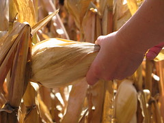 Corn Right Off the Stalk (UnitedSoybeanBoard) Tags: horizontal corn harvest ears ear