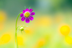 summer cosmos (tubasa-wings) Tags: flower nature ngc cosmos bej fantasticnature innamoramento slicesoftime