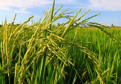 Rice paddy with blue sky at Sabah, Borneo, Malaysia (Macbrian Mun) Tags: travel blue sky food cloud plant green nature beautiful field rural season asian countryside leaf flora scenery asia view rice natural paddy outdoor farm background horizon co