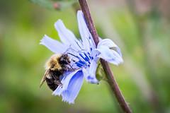 Chicory Bee