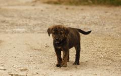 (ratbril//M.Prat//) Tags: color puppy cachorro mascota cadell canoneos500d ratbril